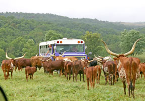 Cows and bus